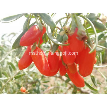 Pemakanan Berry Goji Berries